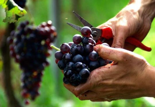 Fête du terroir et de la tradition vigneronne les 17 et 18 octobre